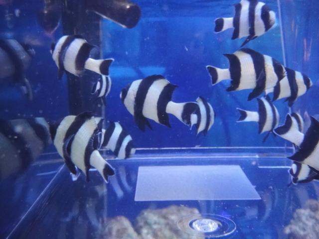 海水魚・サンゴ_f0189122_13185429.jpg