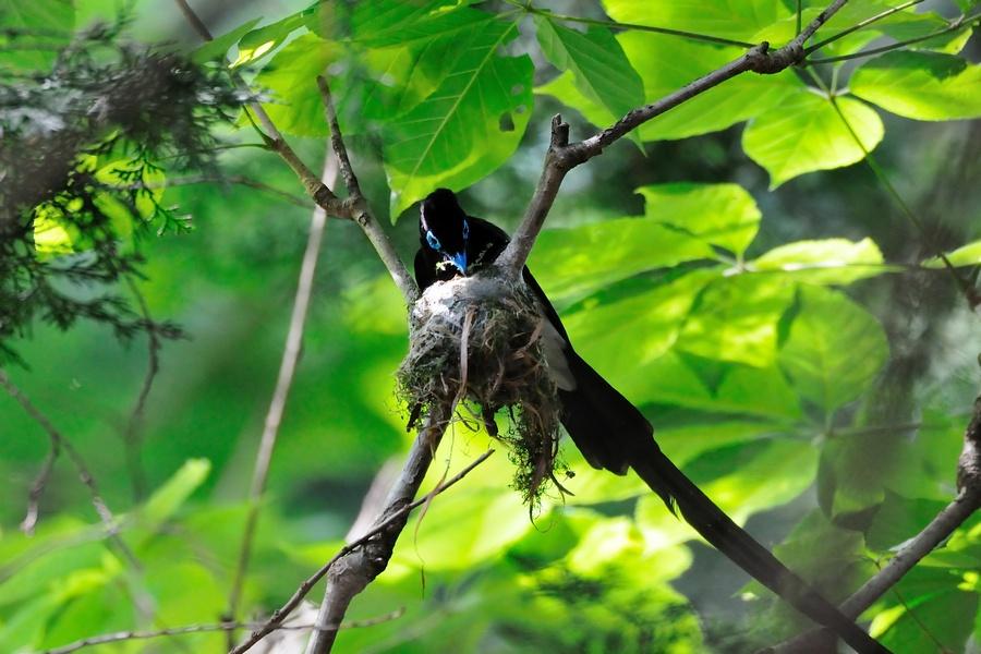 三光鳥(サンコウチョウ)・・・Ⅱ_c0124055_22104114.jpg