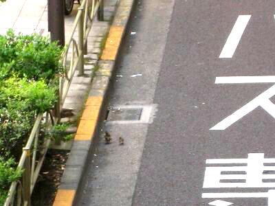 カルガモ親子のあぶな~い!散歩_e0010418_9541695.jpg