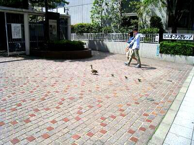 カルガモ親子のあぶな~い!散歩_e0010418_9545767.jpg