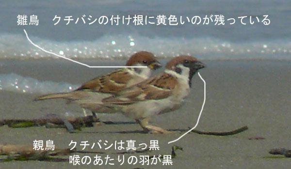 浜辺の 親子スズメ_e0088233_21222952.jpg