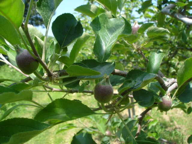 今のりんごは_e0019167_13294151.jpg