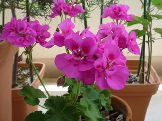 鮮やかに咲いてくれているゼラニウム_d0126473_10565799.jpg
