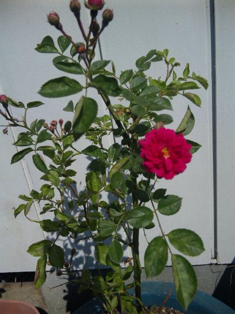 薔薇が咲いた♪_e0143294_22293129.jpg