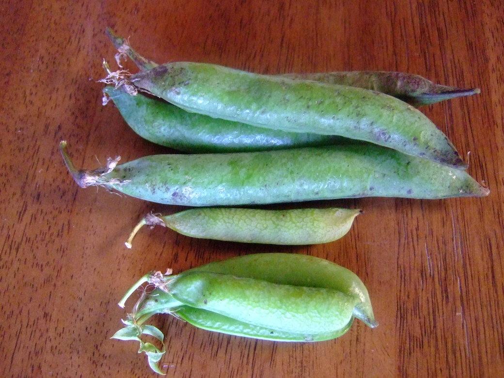ジャンボグリーンピースの収穫!_b0137932_6353668.jpg