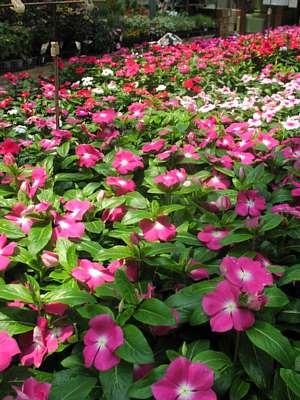 今から植えたい「夏の花」_c0141652_15392821.jpg