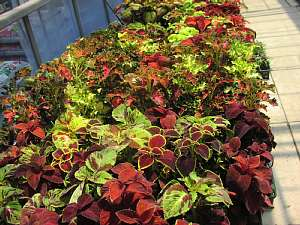 今から植えたい「夏の花」_c0141652_15393585.jpg