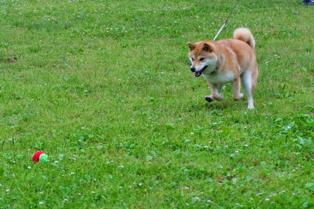 走れ、走れ、かぼちゃん!_a0126590_1134935.jpg