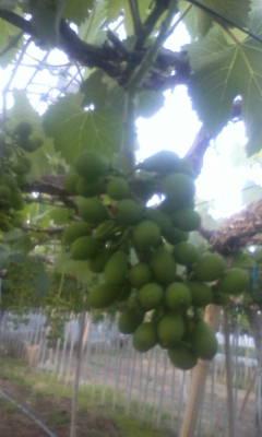 明日から、ぶどうの摘粒作業です。_d0026905_18515335.jpg