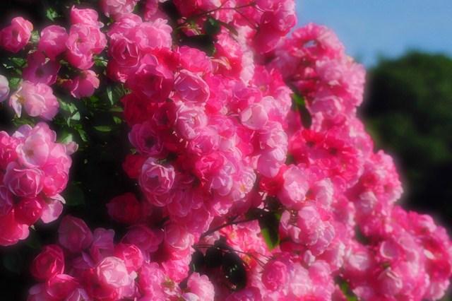 薔薇の花に囲まれて_a0126590_21321761.jpg