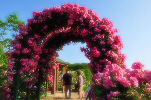 薔薇の花に囲まれて_a0126590_2133023.jpg