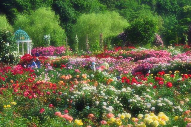 薔薇の花に囲まれて_a0126590_21333230.jpg