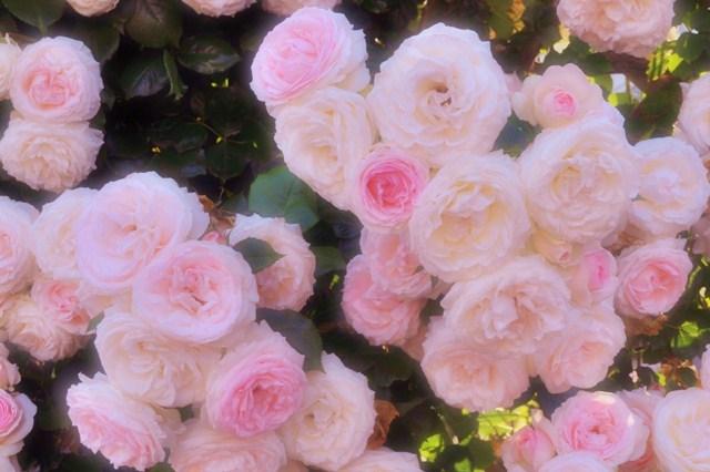 薔薇の花に囲まれて_a0126590_21334512.jpg