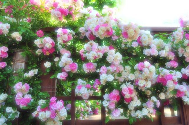 薔薇の花に囲まれて_a0126590_21335854.jpg