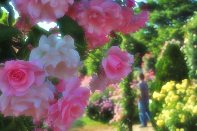 薔薇の花に囲まれて_a0126590_21343725.jpg