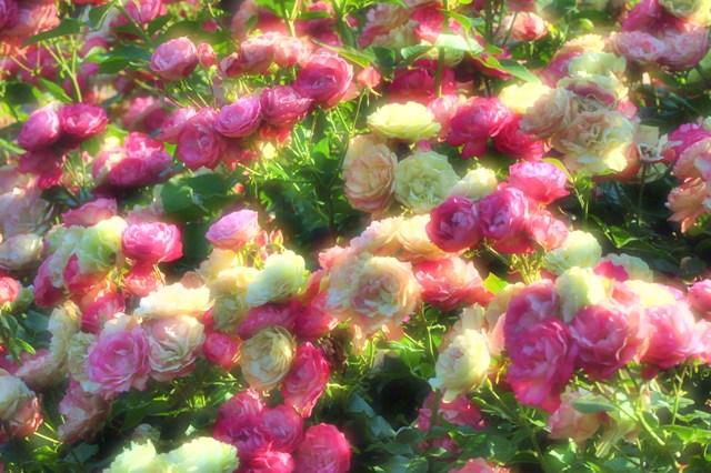 薔薇の花に囲まれて_a0126590_21345313.jpg