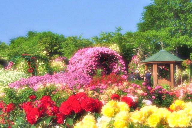 薔薇の花に囲まれて_a0126590_21351136.jpg