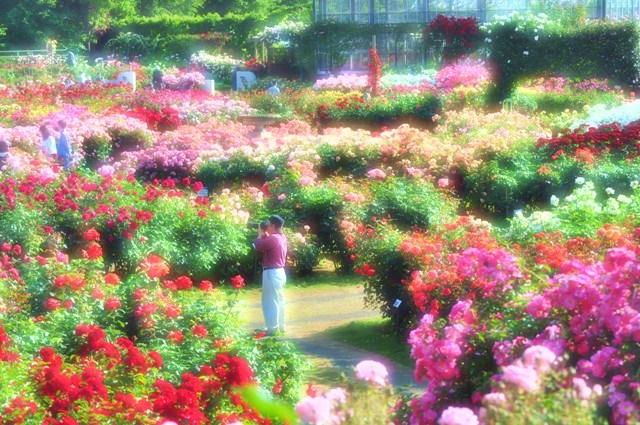 薔薇の花に囲まれて_a0126590_2135285.jpg