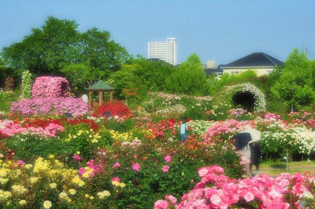 薔薇の花に囲まれて_a0126590_21354477.jpg