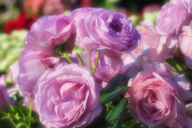 薔薇の花に囲まれて_a0126590_21355999.jpg