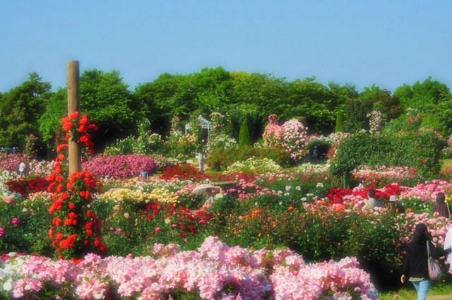 薔薇の花に囲まれて_a0126590_21361740.jpg