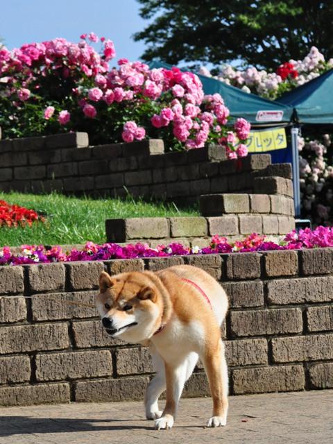 薔薇の花に囲まれて_a0126590_21541910.jpg