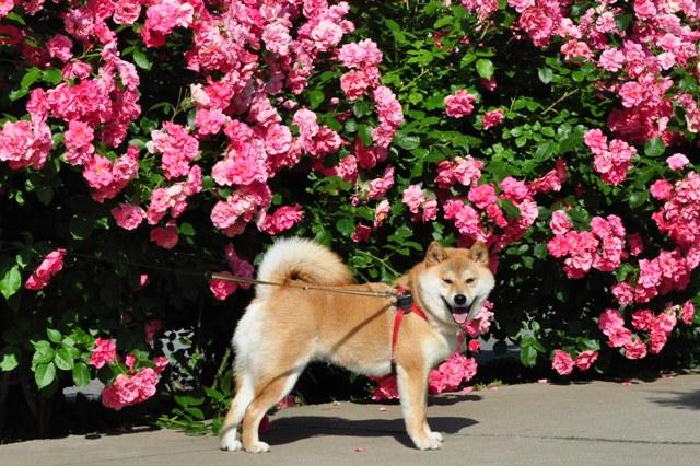 薔薇の花に囲まれて_a0126590_21571139.jpg