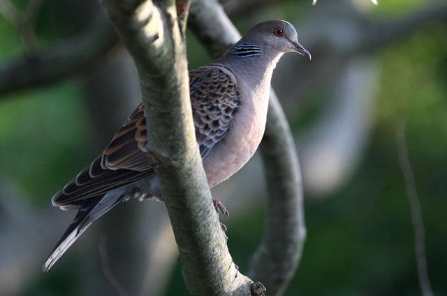 離島の鳥(その他)_d0074828_2125537.jpg