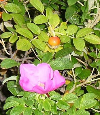 砂丘植物公園にハマナスを植えました_f0229750_940295.jpg