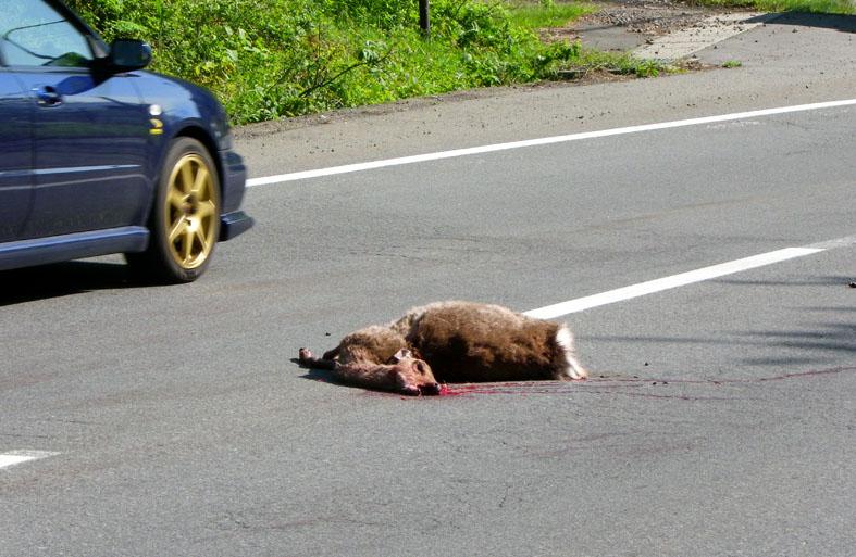 野生動物の交通事故  2010年6月7日_e0005362_20413078.jpg