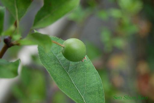 庭では果実が_a0164068_1818455.jpg