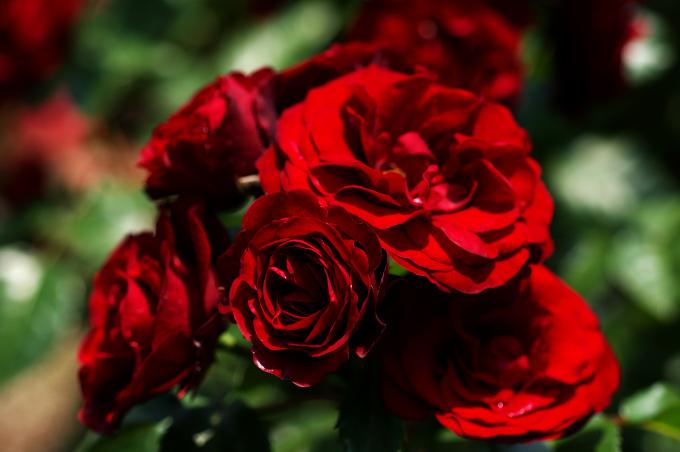 バラ写真を妖艶に仕上げてみました_c0168669_16402898.jpg