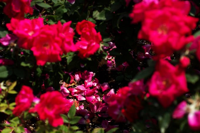 バラ写真を妖艶に仕上げてみました_c0168669_16404186.jpg
