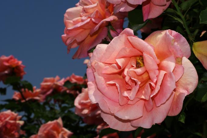 バラ写真を妖艶に仕上げてみました_c0168669_16405218.jpg