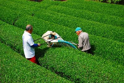 茶摘み_e0114895_17352558.jpg