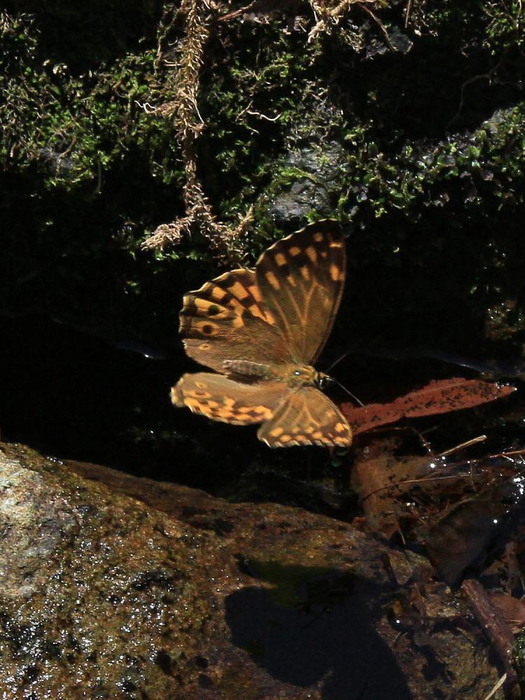 ヤマキマダラヒカゲ  翅表を楽しむ。 2010.6.6富山県_a0146869_23395170.jpg
