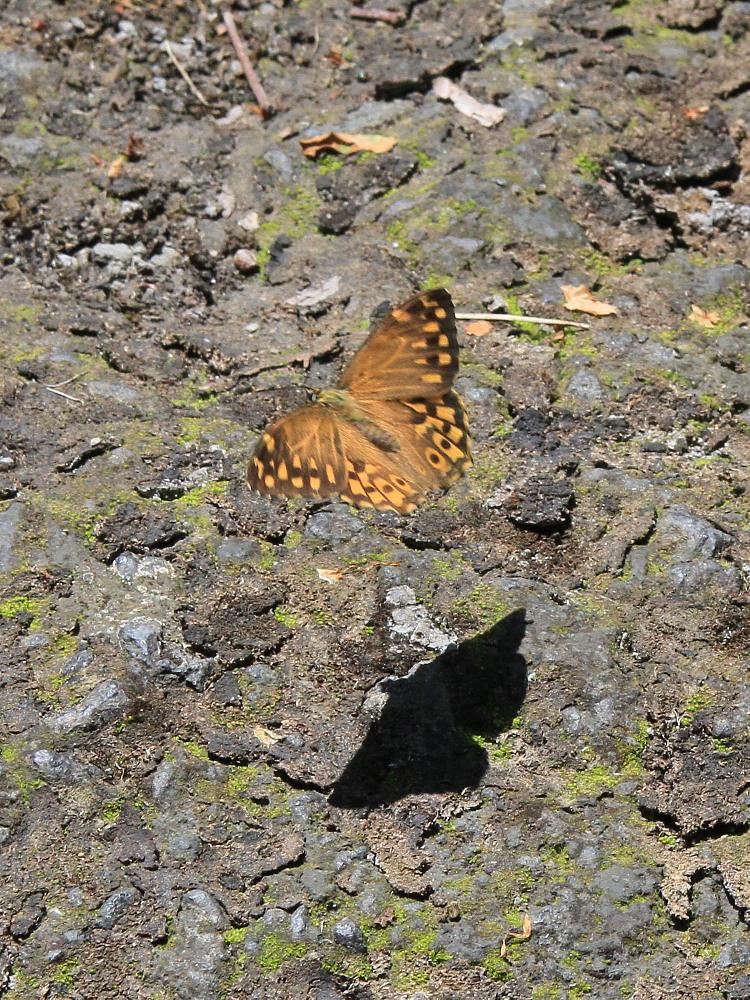 ヤマキマダラヒカゲ  翅表を楽しむ。 2010.6.6富山県_a0146869_23402034.jpg