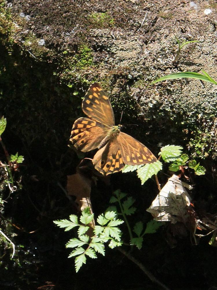 ヤマキマダラヒカゲ  翅表を楽しむ。 2010.6.6富山県_a0146869_23403590.jpg