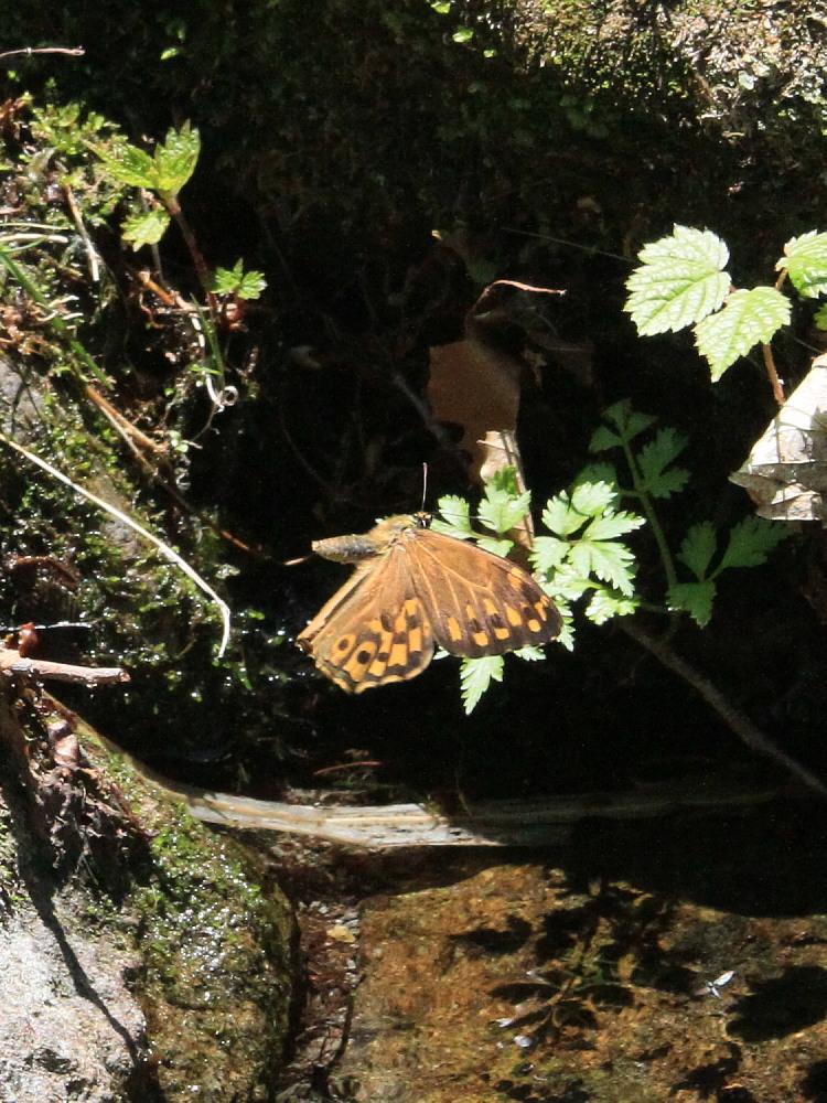 ヤマキマダラヒカゲ  翅表を楽しむ。 2010.6.6富山県_a0146869_23405822.jpg