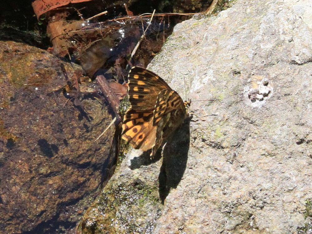 ヤマキマダラヒカゲ  翅表を楽しむ。 2010.6.6富山県_a0146869_2340771.jpg
