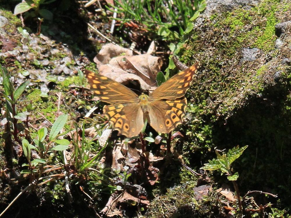 ヤマキマダラヒカゲ  翅表を楽しむ。 2010.6.6富山県_a0146869_23414830.jpg