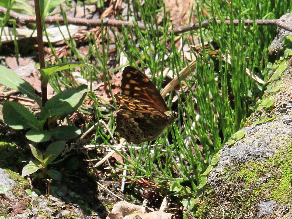 ヤマキマダラヒカゲ  翅表を楽しむ。 2010.6.6富山県_a0146869_23422866.jpg