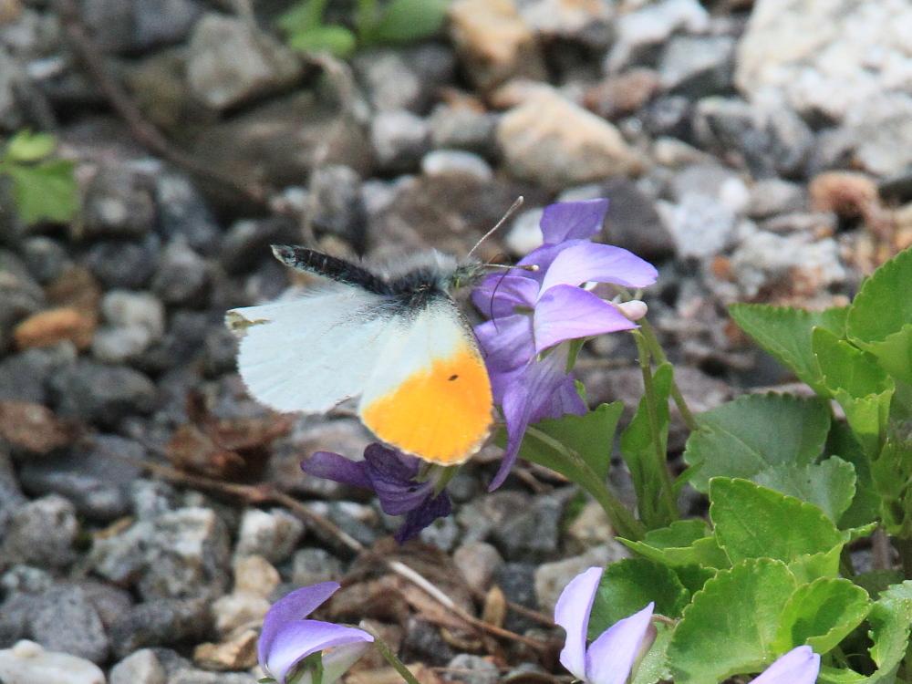 クモマツマキチョウ 憧れの♂がスミレで吸蜜。 2010.6.6富山県_a0146869_3252636.jpg