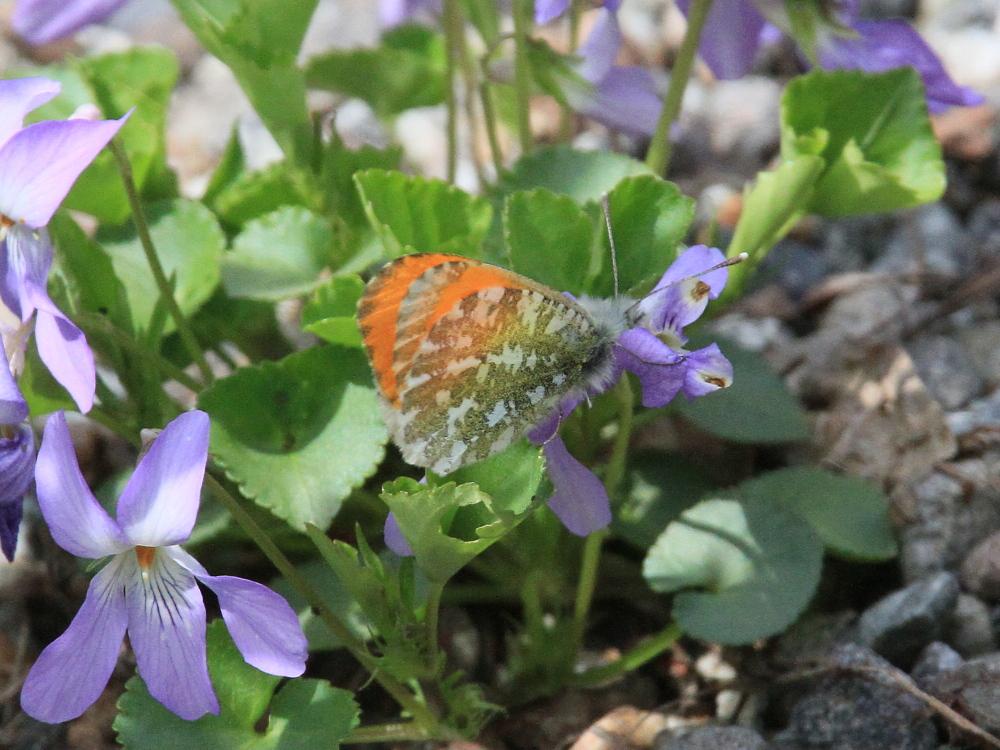 クモマツマキチョウ 憧れの♂がスミレで吸蜜。 2010.6.6富山県_a0146869_327774.jpg