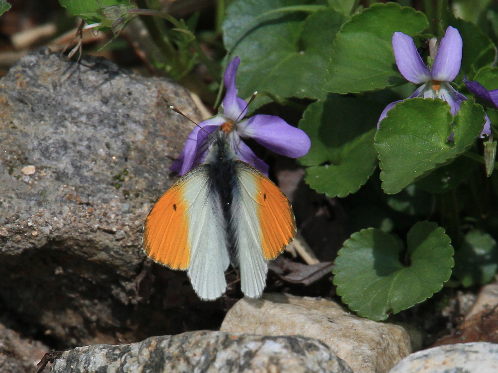 クモマツマキチョウ 憧れの♂がスミレで吸蜜。 2010.6.6富山県_a0146869_3284100.jpg