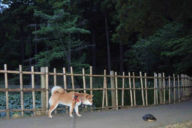 菖蒲と亀と伝説と_a0126590_23153589.jpg