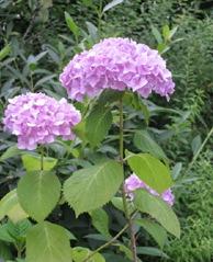 紫陽花.....散歩_f0061394_7573137.jpg