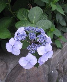 紫陽花.....散歩_f0061394_7582316.jpg