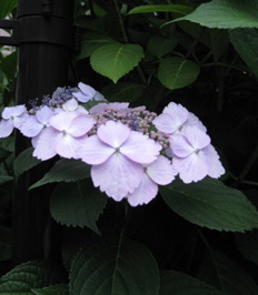 紫陽花.....散歩_f0061394_758646.jpg