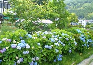梅雨入り前、色とりどりの花咲く田原ふるさと公園_c0171849_18152816.jpg